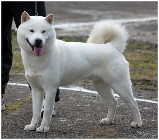 Hokkaido Dog - Pictures, Rescue, Puppies, Breeders, Temperament
