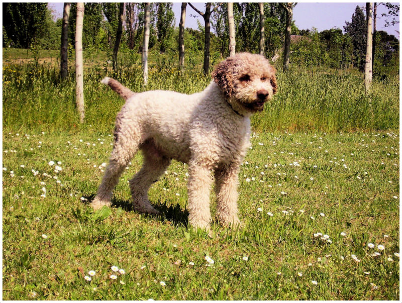 Hypoallergenic Low Grooming Dogs
