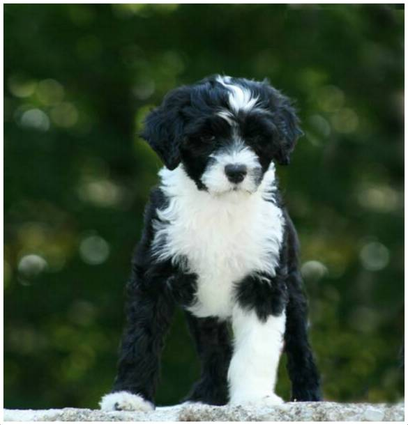 Portuguese Water Dog Rescue Puppies Breeders