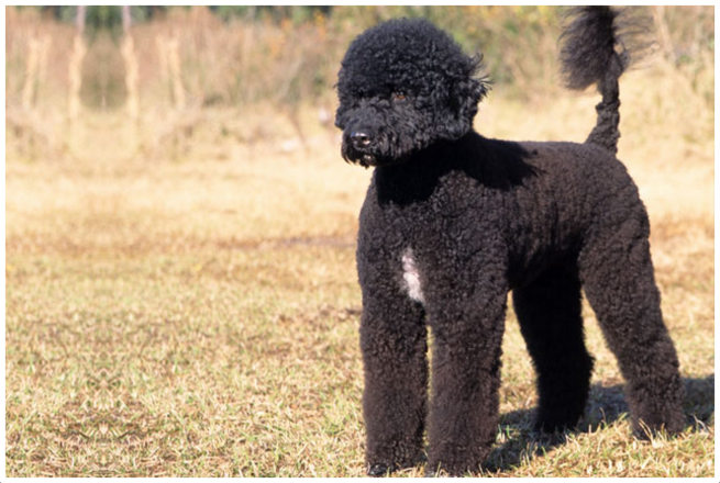 Portuguese Water Dog Puppy Food