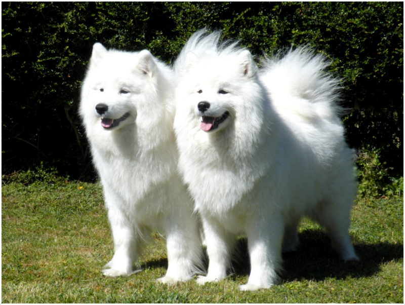 Samoyed Dog Breed Price