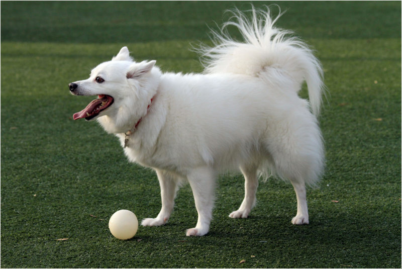 American Eskimo Names For Dogs