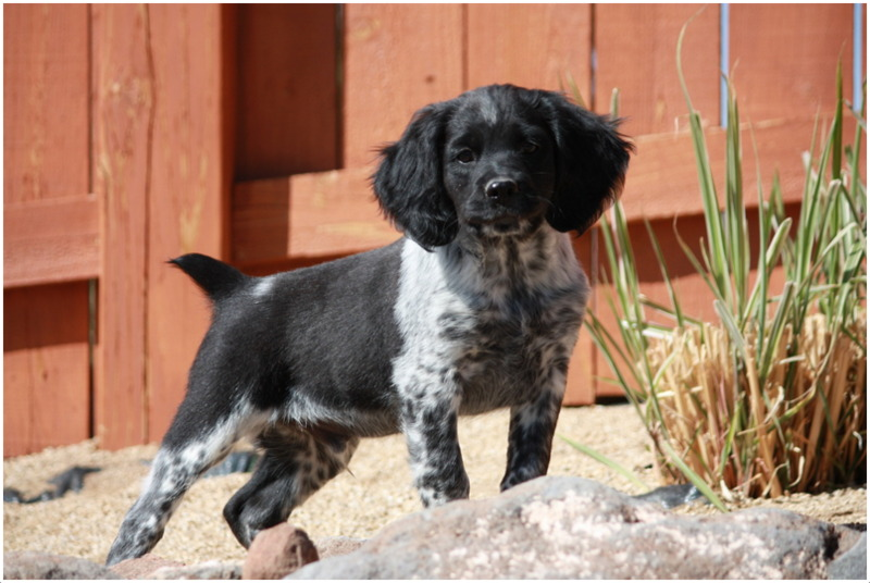 Dog Breeds French Brittany