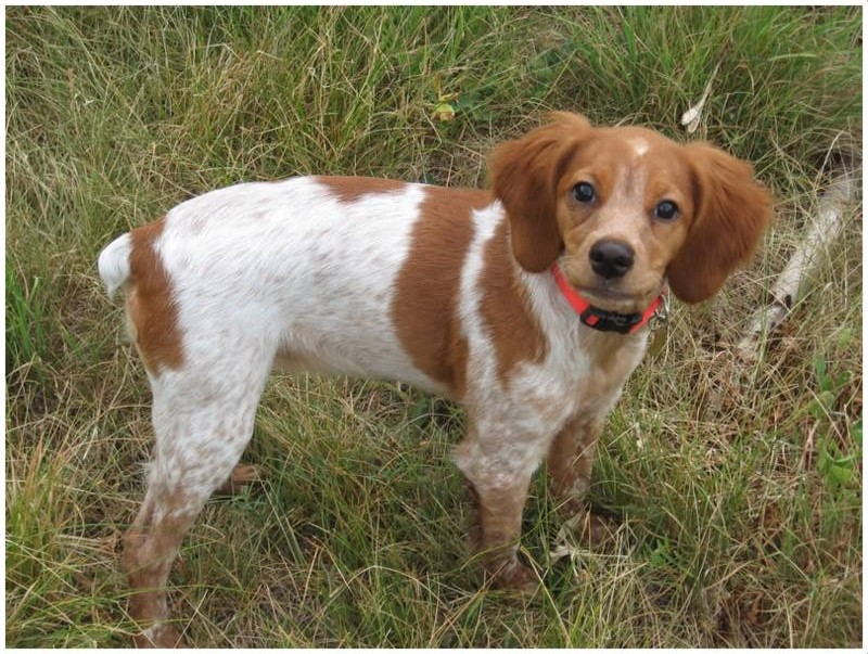French Brittany Facts Pictures Puppies Rescue Temperament Breeders Animals Breeds
