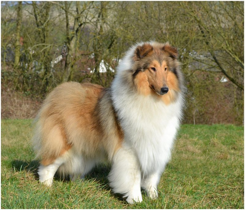 Rough Collie - Facts, Pictures, Puppies, Rescue