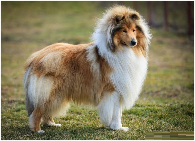 Sable Dog Breeds