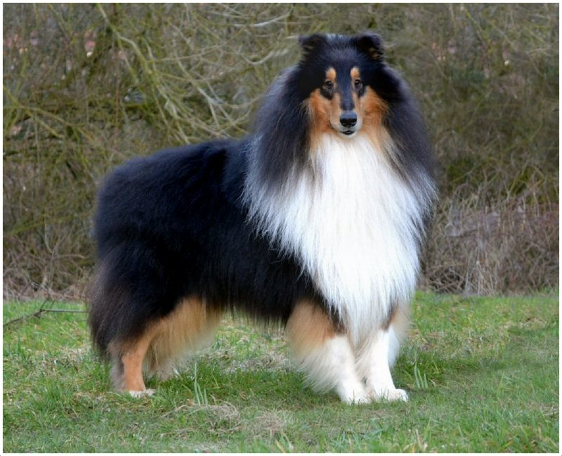 Rough Collie Facts Pictures Puppies Rescue