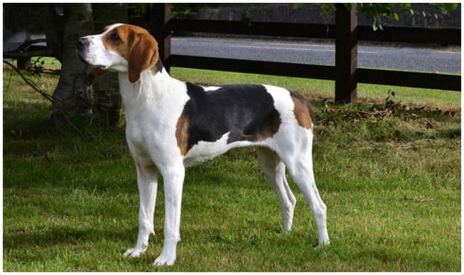 Treeing Walker Coonhound