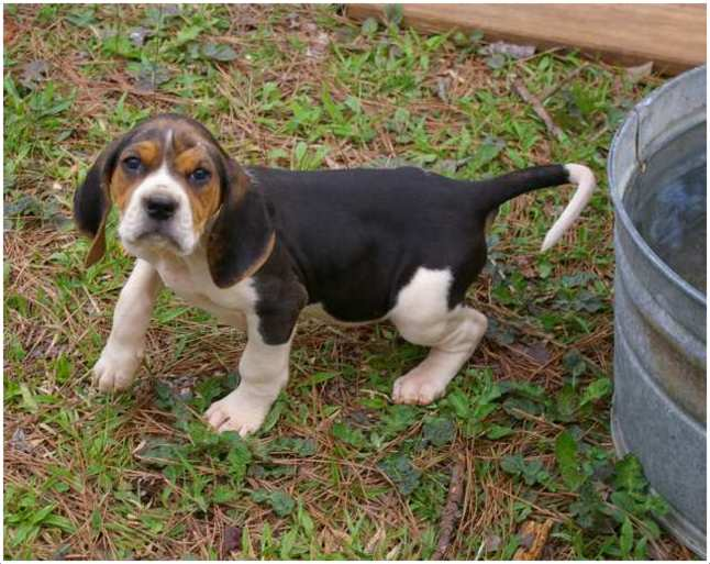 Treeing Walker Coonhound Facts Pictures Puppies Rescue