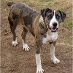 Catahoula Bulldog