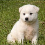 Korean Jindo