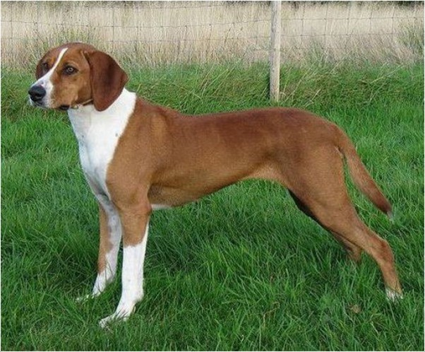 Dunker Training Facts Pictures Breeders Temperament