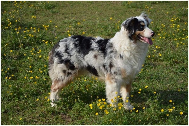 Blue Spotted Dog Breeds