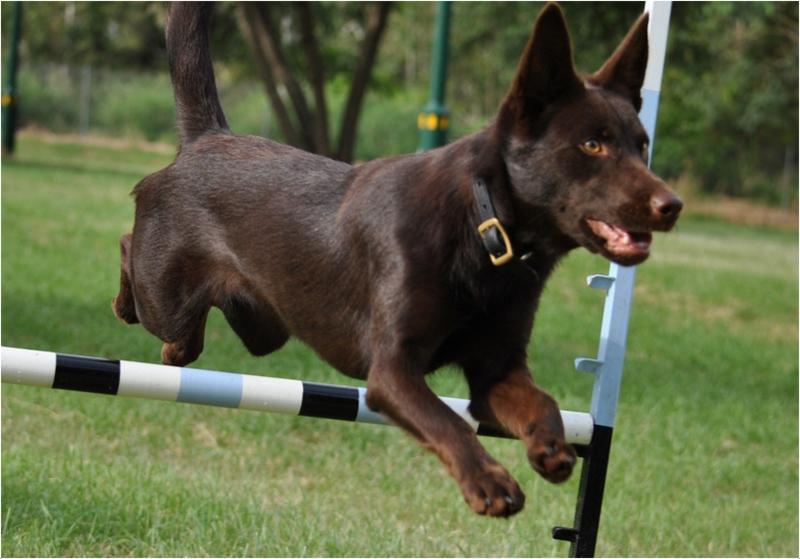 Search And Rescue Dogs Australia