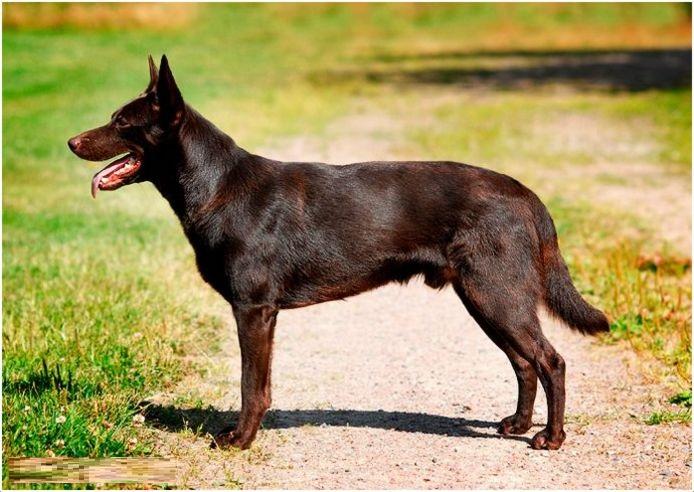 Best Breeds Of Dog For Kelpie