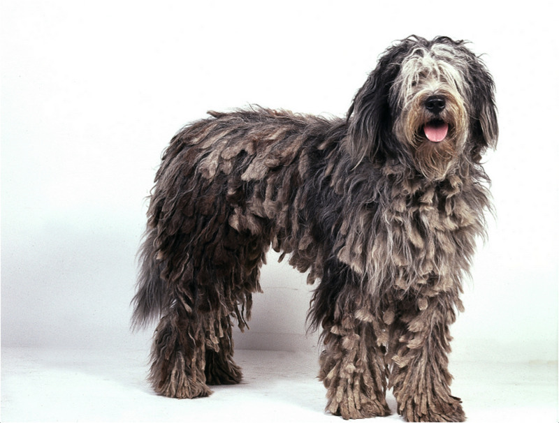 bergamasco puppies facts pictures price grooming