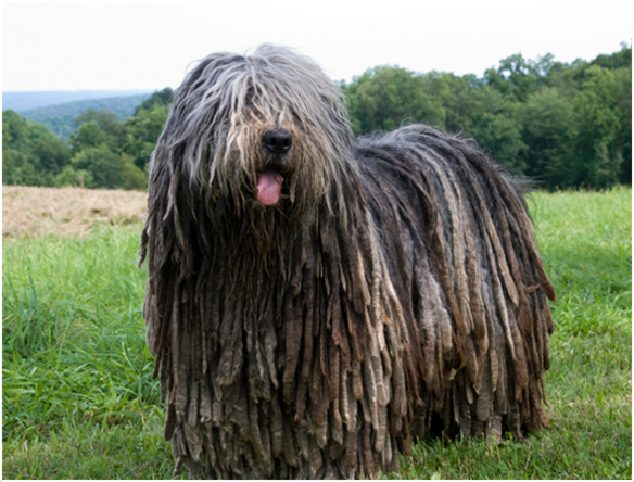 Bergamasco - Puppies , Facts, Pictures, Price, Grooming ...