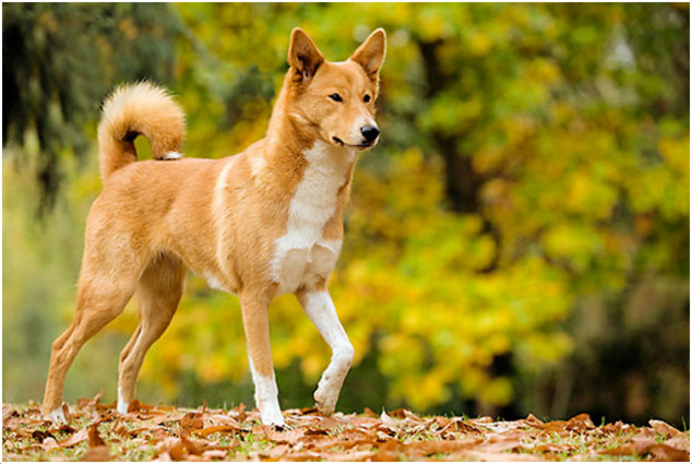 Canaan dog colors