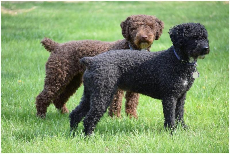 Portuguese Water Dog Pictures Facts