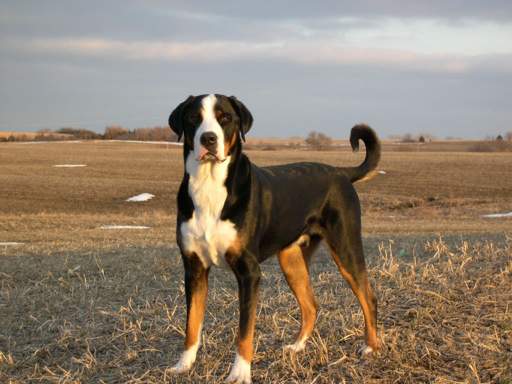 Greater Swiss Mountain Dog Facts Pictures Breeders