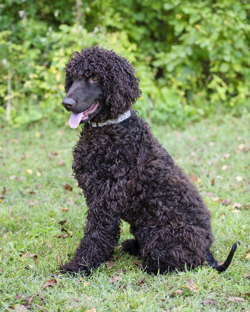 Irish Water Spaniel , Facts, Pictures, Puppies, Breeders