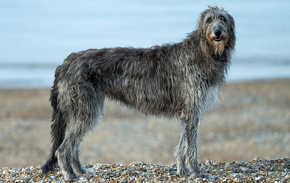 calmest dog breeds scottish deerhound