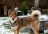 Shikoku dog