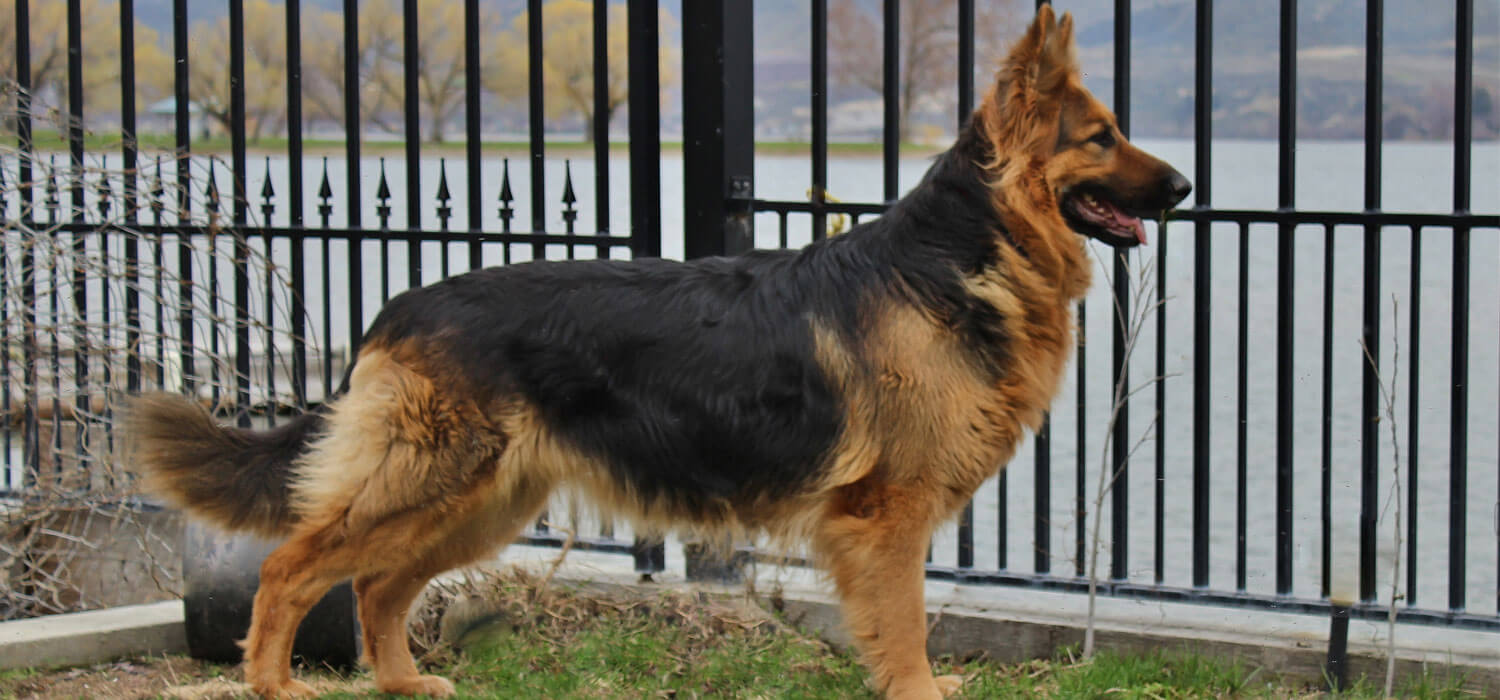 king shepherd facts pictures puppy size price
